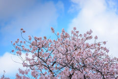 Spring pink cherry blossoms background Stock Image