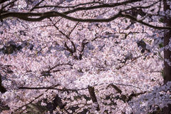 Spring pink cherry blossoms background Royalty Free Stock Photo