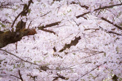 Spring pink cherry blossoms background Stock Photo