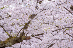 Spring pink cherry blossoms background Stock Images