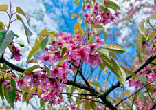 Spring Pink Cherry Blossoms in ChiangMai,Thailand Royalty Free Stock Photography