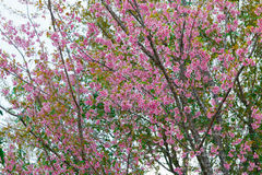 Spring Pink Cherry Blossoms in ChiangMai,Thailand Stock Photos