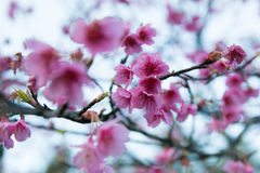 Spring Pink Cherry Blossoms in ChiangMai, Thailand Royalty Free Stock Photos