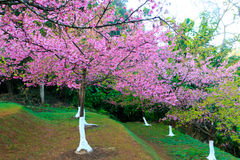 Spring Pink Cherry Blossoms in ChiangMai, Thailand Royalty Free Stock Image