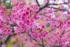 Spring Pink Cherry Blossoms in ChiangMai, Thailand Stock Image