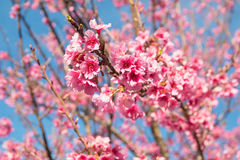 Spring Pink Cherry Blossoms in ChiangMai, Thailand Royalty Free Stock Photography