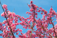 Spring Pink Cherry Blossoms in ChiangMai, Thailand Royalty Free Stock Photo