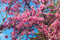 Spring Pink Cherry Blossoms in ChiangMai, Thailand Stock Photos