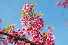 Spring Pink Cherry Blossoms in ChiangMai, Thailand Royalty Free Stock Images