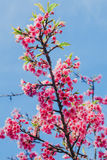 Spring Pink Cherry Blossoms in ChiangMai, Thailand Stock Images