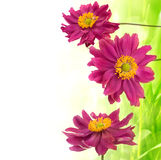 Spring pink daisies Stock Photos