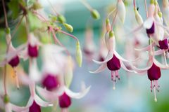 Spring purple flower. In close up royalty free stock photos