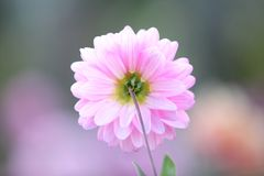 Spring pink flower. In close up stock photo
