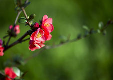 Spring pink flower Stock Photography