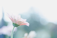 Spring pink flower Royalty Free Stock Photo