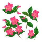 Spring pink flower decorative shrub Weigela Eva Supreme set on a white background vintage vector illustration editable. Hand draw stock illustration
