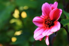 Photosynthesis. Spring Pink flower pedals stock image