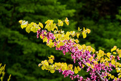 Spring pink flowering tree. Beautiful tree with pink flowers Royalty Free Stock Images