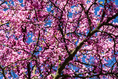 Spring pink flowering tree. Beautiful tree with lot of pink flowers Royalty Free Stock Photos