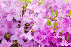 Spring. Pink flowers Stock Photography