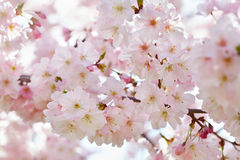 Spring pink flowers background Stock Images