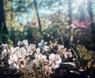 Spring pink flowers on a background forest and sunlight, background, blurry Stock Photos