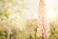 Spring pink flowers Royalty Free Stock Photo