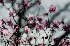 Spring pink flowers. Blossoming tree on the gray background Stock Image