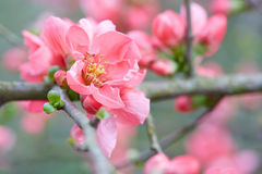 Spring pink flowers closeup with pink blossom Stock Photos