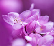 Spring Pink Flowers. Spring pink flower background macro Stock Images