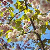 Spring pink flowers on tree