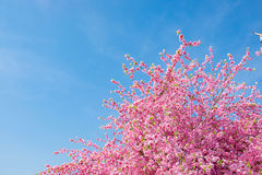 Spring pink plastic sakura flower decorating a garden with blue Royalty Free Stock Photo