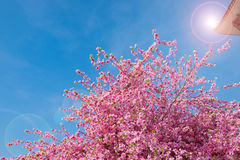 Spring pink plastic sakura flower decorating a garden with blue Stock Photos