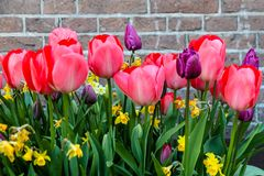 Spring pink red and purple tulips blooming with green stalks against a rustic brick wall background in Amsterdam. Netherlands Royalty Free Stock Images
