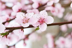 Spring pink tree flowers Stock Photography