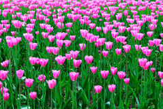 Spring. Pink tulips Royalty Free Stock Image