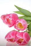 Spring pink Tulips Royalty Free Stock Photography