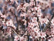 Spring Pinks Stock Photos