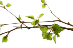 Spring plant Royalty Free Stock Photography