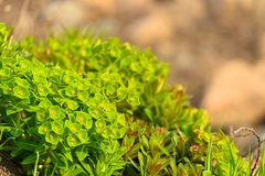Spring plant Euphorbia mosquito royalty free stock photography