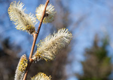 Spring plant fluffy flower of pussy-willow Royalty Free Stock Images