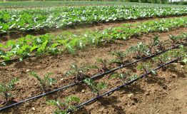 Spring Planting. Field of organic spring broccoli, kale,lettuce, onions, cabbage and cauliflower plants Royalty Free Stock Photos