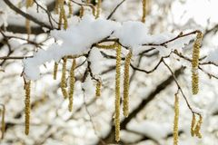 Spring plants covered with snow. Nature background Stock Image