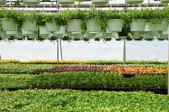 Spring plants in nursery. A view of fresh, new spring seedlings and hanging plants growing in a nursery greenhouse Royalty Free Stock Photos