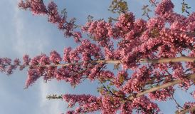 Spring plants. A picture of pink spring plants,in a spring day, in a greek town thessaloniki Stock Photography