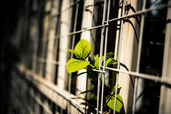 In the spring of plants. Spring is a plant growth across the fence Stock Image