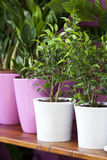 Spring plants. Potted plant in art vase. Table decoration in living room. Ficus bonsai Royalty Free Stock Photo