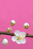 Spring plum blossom. Branch of plum tree with new flowers on pink background Stock Images