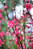 Spring plum blossom branches flower Royalty Free Stock Photo