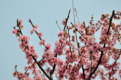 Spring plum blossom branches flower Royalty Free Stock Images